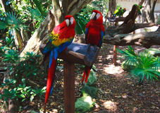 The couple of colorful parrots macaws in Xcaret park Mexico Stock Photos