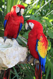 Couple of colorful parrots Royalty Free Stock Images