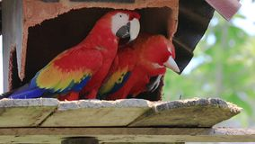 Couple of coloured parrots in a tropical garden. Colombia stock video footage