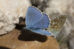 Couple of Common blue butterflies copulating in spring. royalty free stock photo