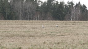 Couple of common cranes search for food. On a grey field during winter stock footage
