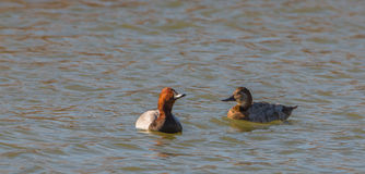 A couple of Common Pochards. A pair of the Common Pochard duck (Aythya ferina) swimming at a lagoon Stock Photography
