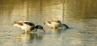 A couple of Common Shelduck. S, Tadrona tadorna, filtering the waters of a shallow lagoon in Italy in search of food stock image