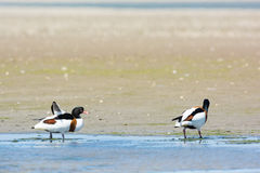 Couple Common shelducks Stock Image