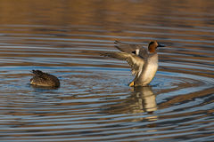 Couple of common teals Anas crecca in evening sun Stock Photo