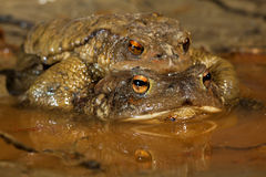 Couple of Common toad in early spring during the breeding season Stock Images