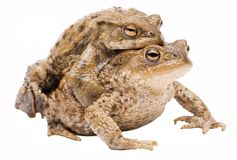 Couple of common toads Bufo bufo on white Royalty Free Stock Photos