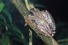 Striped tree frog Royalty Free Stock Photos