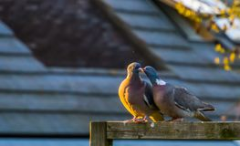 Couple of common wood doves being intimate together, common pigeons of europe. A couple of common wood doves being intimate together, common pigeons of europe stock photos