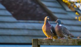 Couple of common wood doves sitting together on a wooden beam, common pigeons of europe royalty free stock image