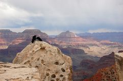 Couple of condors in grand canyon. Couple of condors sitting on a rock in grand canyon national park, US Royalty Free Stock Photos