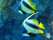 Couple of coral fish in blue water. Royalty Free Stock Image
