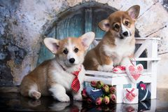 Couple corgi of lovers royalty free stock photography