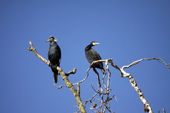 Couple of cormorants royalty free stock photos