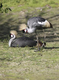 A couple of courting Crane's Stock Image