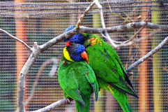 Couple Courting Lorikeets Royalty Free Stock Images