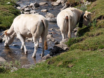 Couple of cows Stock Images