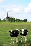 Couple of cows in dutch landscapes with mill Royalty Free Stock Image