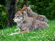 Couple of coyote relaxing on the grass. Under the trees stock photos