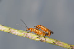 Couple of cricket having sex on a spike. And smooth background Royalty Free Stock Image