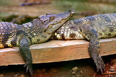 Couple crocodile Royalty Free Stock Images
