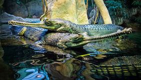 Couple of the crocodiles Stock Photography