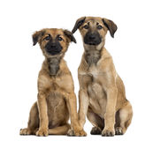 Couple of Crossbreed dog isolated on white. Couple of Crossbreed dog between a Labrador and a Malinois looking at the camera and sitting, isolated on white Royalty Free Stock Photo
