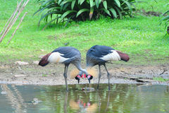 A couple crowned crane Stock Image