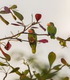 A couple of Cuban Amazon Parrots Royalty Free Stock Photography
