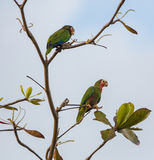 A couple of Cuban Amazon Parrots Royalty Free Stock Image