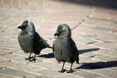 Couple curious begging jackdaws Stock Image