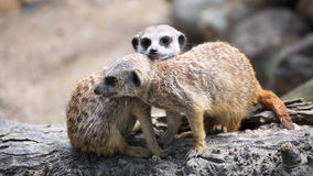 Couple of curious meerkats (Suricata suricatta) Stock Images
