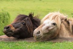 The heads of two miniature horses, peering over a terrace stock image