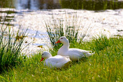 Couple of cute american peking ducks next to a lake. On the fresh green grass Stock Photo