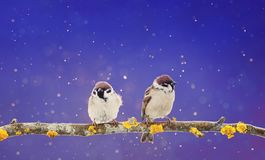 Couple of cute birds sitting on a branch in winter Christmas g royalty free stock photos