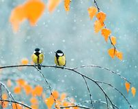 Couple of cute birds Tits in the Park sitting on a branch among Stock Photos