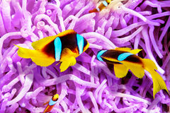 Couple of cute  clown-fish in the bush of anemone's. Stock Photos