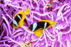 Couple of cute  clown-fish in the bush of anemone's. Royalty Free Stock Photos