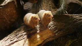Widescreen of cute ferrets on log. A couple of cute ferrets helpfully striking a pose on log in zoo, widescreen stock image
