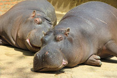 Couple of cute hippos Stock Photos