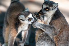Couple of cute lemurs, one tenderly licking the other stock photo