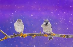 a couple of cute little birds sitting on a branch in winter Christmas garden during snow royalty free stock images