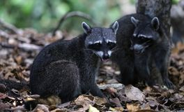 Couple of cute raccoon in the jungle of Costa Rica waiting for food. Wild cute raccoon in the jungle of Costa Rica waiting for food showing teeth Royalty Free Stock Photo