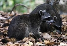 Couple of cute raccoon in the jungle of Costa Rica waiting for food. Wild cute raccoon in the jungle of Costa Rica waiting for food showing teeth Stock Photo