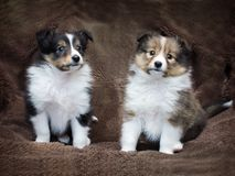 Couple cute sheltie puppies Royalty Free Stock Images