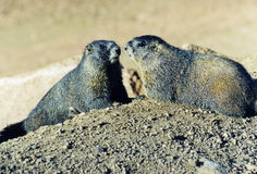 A couple of cute woodchucks. Two woodchucks in Rocky Mountains on a sunny day Royalty Free Stock Photography