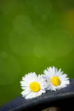 Couple of daisies Royalty Free Stock Images