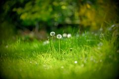Couple of Dandelion on green grass stock photo