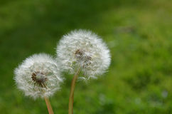 Couple of dandelion seeds, close up. Close up of couple of dandelion seeds Stock Image
