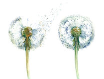 Couple of dandelions (series C) Royalty Free Stock Photography